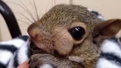 얼굴만한 종기 달고 나타난 다람쥐 '수술 성공적'
