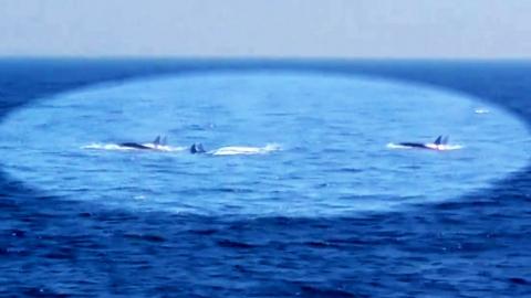 '바다 포식자' 범고래 무리 다도해 출현 첫 포착