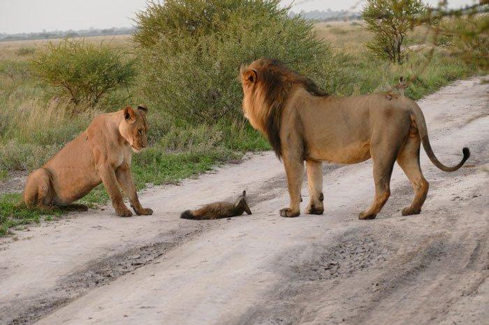 '다친 새끼 여우'를 잡아먹으려던 굶주린 사자의 반전