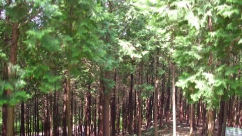 편백나무 숲길 걸으면 피로가 '싹'
