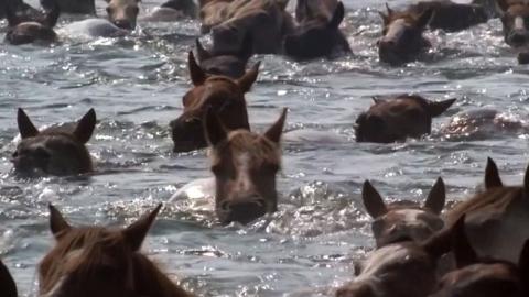 [영상] 바다를 건너는 수백 마리의 조랑말들 '진풍경'