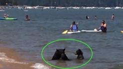 야생곰 세 마리, 사람들 사이에서 수영하는 희귀한 모습 포착