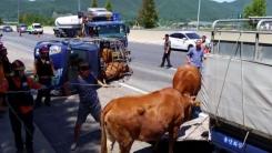고속도로에서 소 실은 화물트럭 넘어져