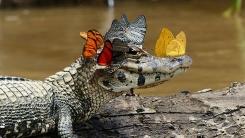 아마존에서 포착된 '나비 왕관' 쓴 카이만 악어