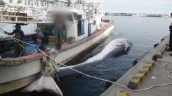 포항 앞바다서 대형고래 죽은 채 발견
