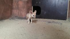 불법 밀수된 '멸종위기종' 사막여우, 새끼 두 마리 낳았다