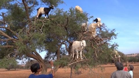 염소떼가 나무 위에 올라가야만 했던 이유