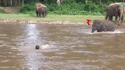 자신을 구해준 사육사가 물에 빠졌을 때 코끼리의 반응