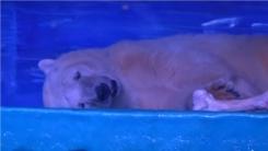 세상에서 가장 슬픈 북극곰을 아시나요