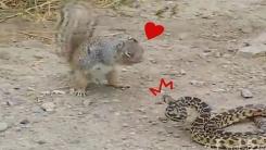 '견과류는 어쩌고'...뱀 사냥하는 다람쥐 포착