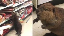 슈퍼마켓에 난입한 비버가 갖고 싶었던 것은?