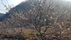 """[사진] """"뜻밖의 꽃놀이"""" 봄인줄 알고 핀 겨울 벚꽃"""