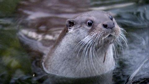 멸종위기종 수달 가족,  한강에서 첫 발견