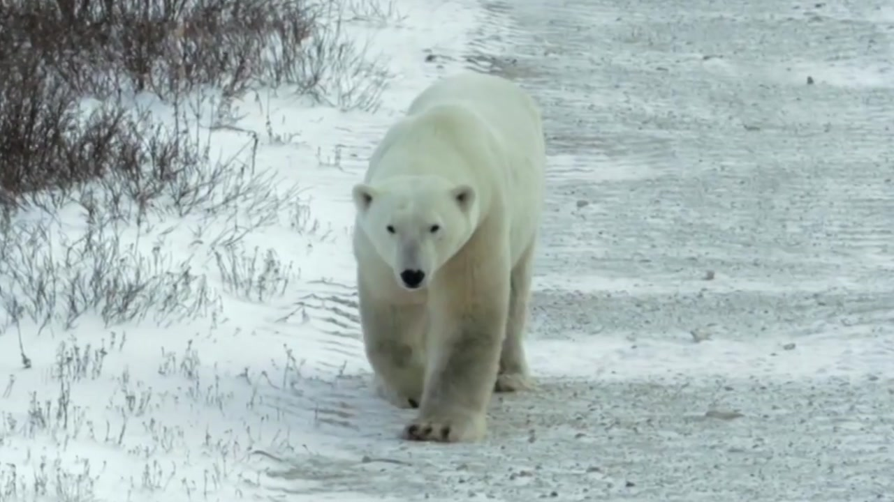 암수 한 몸 된 북극곰...생태계 교란 주범은 '팝스'