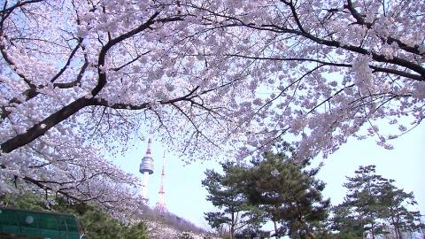 올해 벚꽃도 일찍 핀다…서울 4월 6일 개화