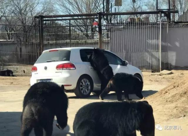 야생 동물원 곰 떼, '창문 열린 자동차' 집단 공격