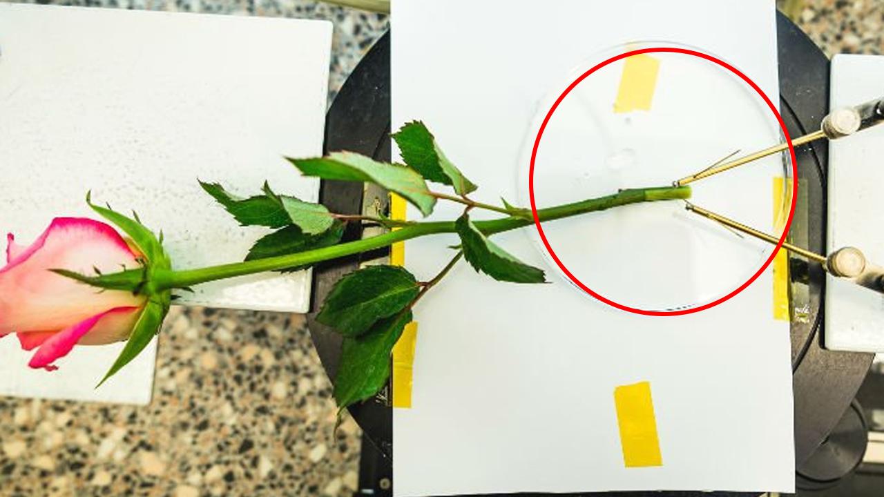 장미를 배터리로...'에너지 재배'도 가능해질까?