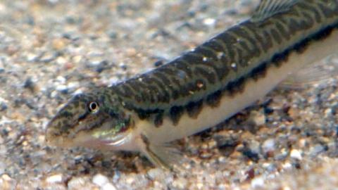 미꾸라지에 이식…멸종 위기 물고기 인공증식 성공