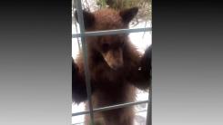 [영상] '똑똑, 아무도 없나요?'...호기심 많은 야생곰