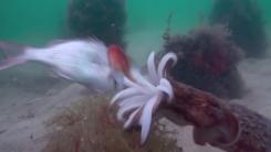 '수중 암살자' 갑오징어의 뛰어난 사냥 실력