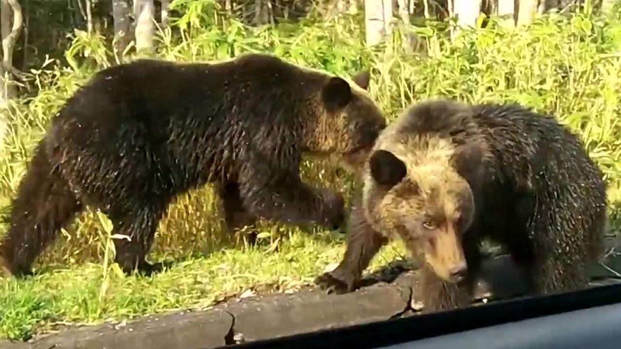 日, 사람 찾아 나서는 '신세대 곰'에 골머리