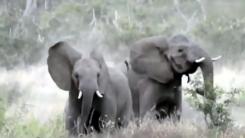 [지구촌 생생영상] 겁먹은 코끼리의 줄행랑...꿀벌만 보면 '벌벌'