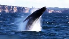 수면 위로 솟구쳐 오른 혹등고래 한 쌍