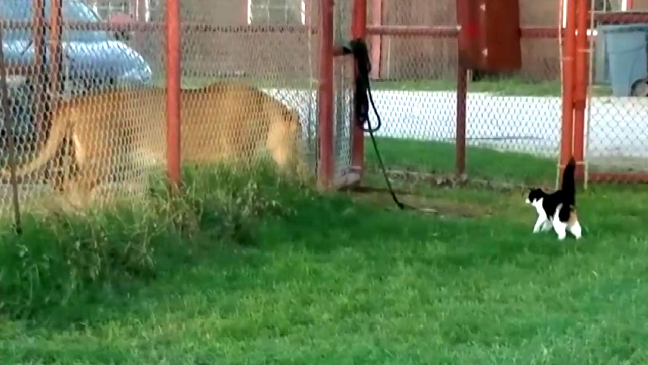 '우리 안 사자' 향한 고양이의 발칙한 도발