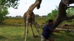[영상] '귀찮게 좀 하지 마'...발끈한 기린의 공격