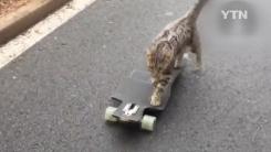 [영상] '이쯤이야'...스케이트보드 타는 고양이