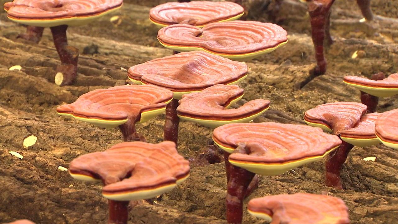 영지버섯, 다이어트와 간 기능활성화 효과