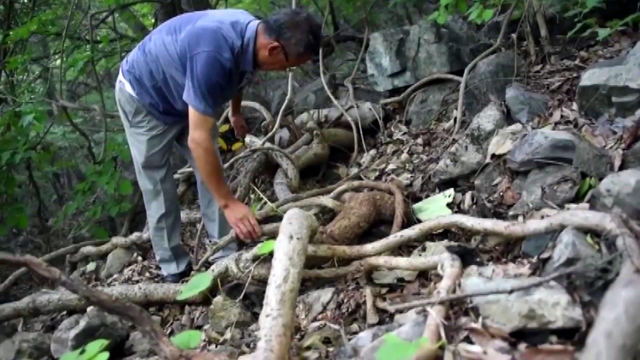 울산 재약산에서 3백 년 최고령 등칡 발견