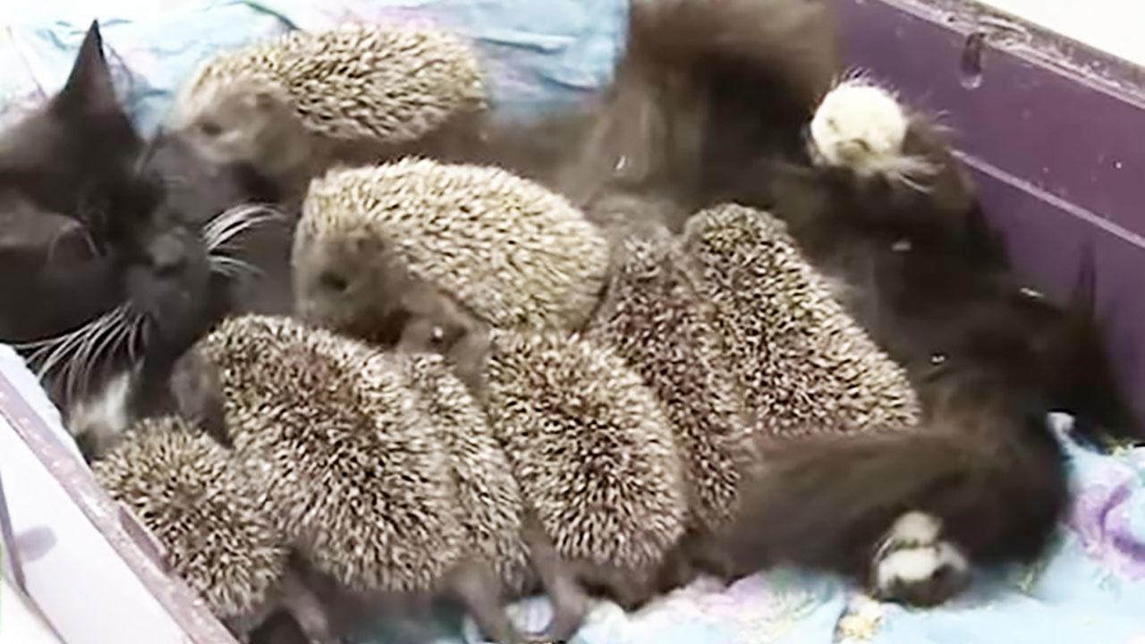 엄마 잃은 새끼 고슴도치 8마리 돌보는 천사 고양이