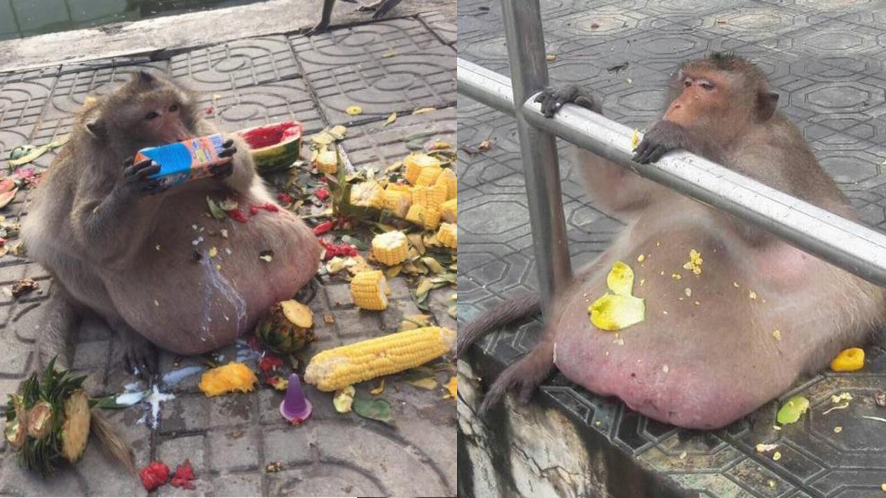 초고도비만으로 다이어트에 들어간 원숭이의 근황