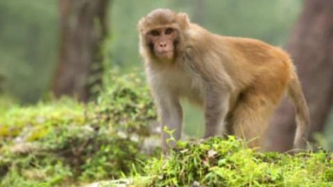 늘어난 원숭이떼에 농작물 초토화된 日 마을