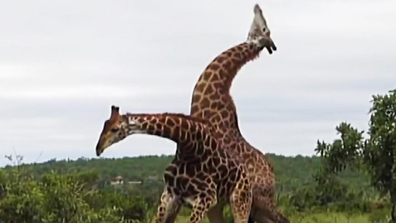 [지구촌생생영상] 기린끼리 싸우는 거 보셨나요?