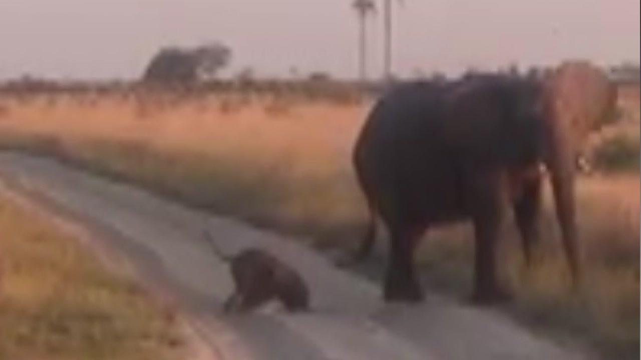 '넘어지면 다시 일어나라'...어미 코끼리의 교육법