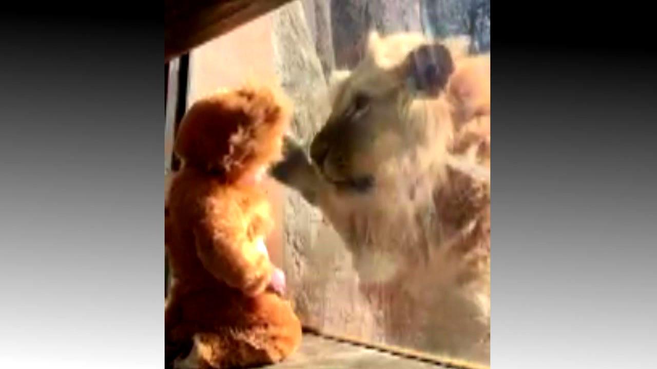 사자 옷 입은 아기에 다가온 '진짜 사자'