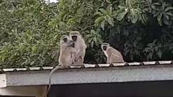 어미와 이별했던 새끼 원숭이의 감동 재회