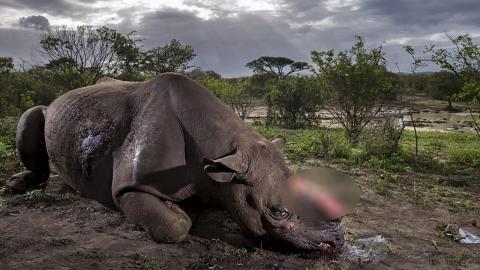 밀렵꾼에게 뿔 잘리고 죽어가는 멸종위기 코뿔소