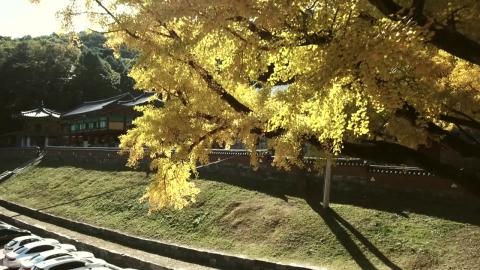 [영상] 가을옷 입은 치악산 은행나무