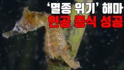 [자막뉴스] '멸종 위기' 해마 인공 증식 성공