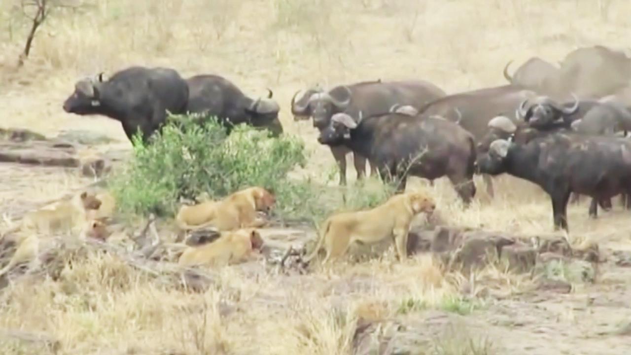 '멧돼지 구하기'...사자에 맞선 버팔로 무리