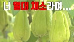 [자막뉴스] 열대 채소 '차요테' 이제는 중부권에서도 재배