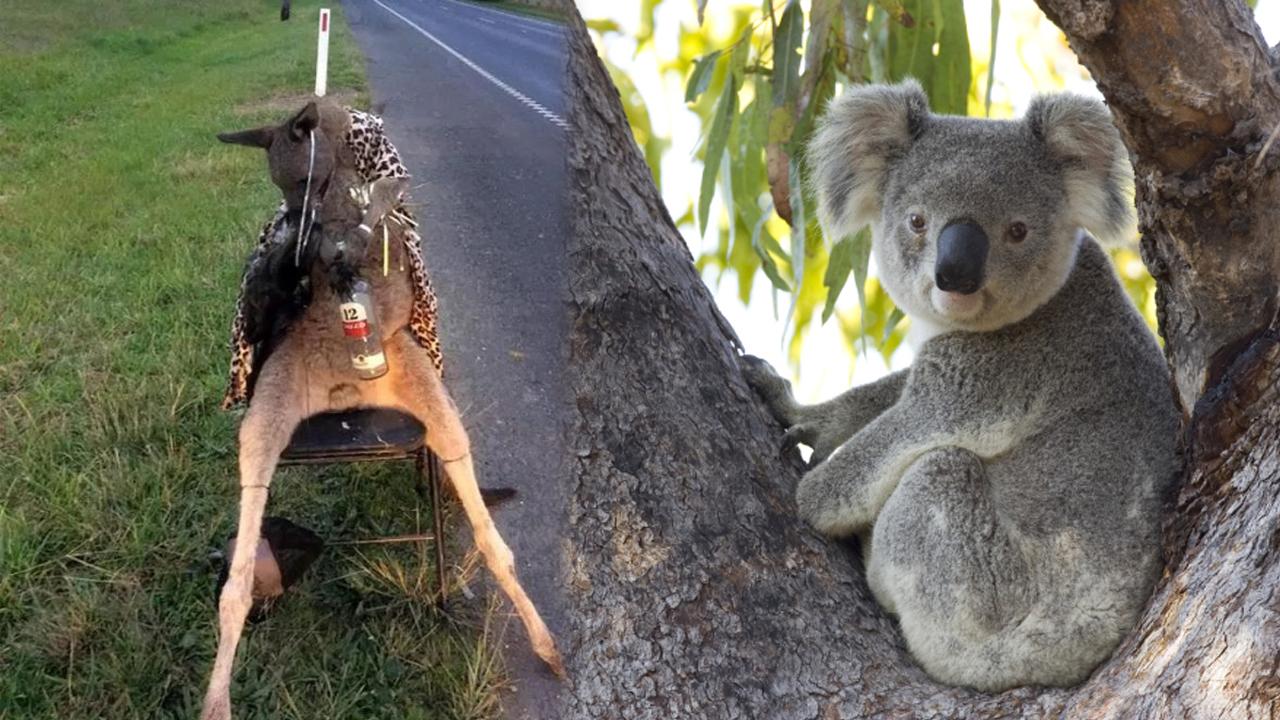 호주서 코알라, 캥거루 '귀' 절단하는 범죄 빈발, 당국 수사 나서