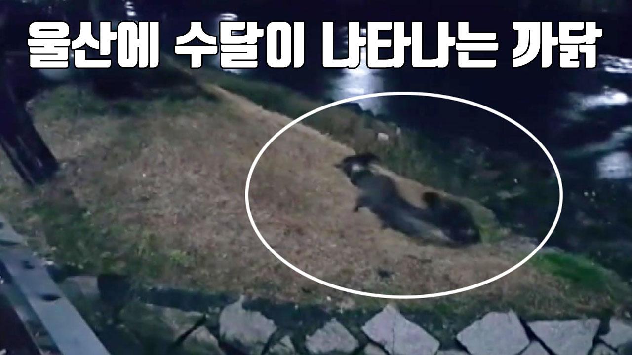 [자막뉴스] 울산에 수달이 나타나는 까닭