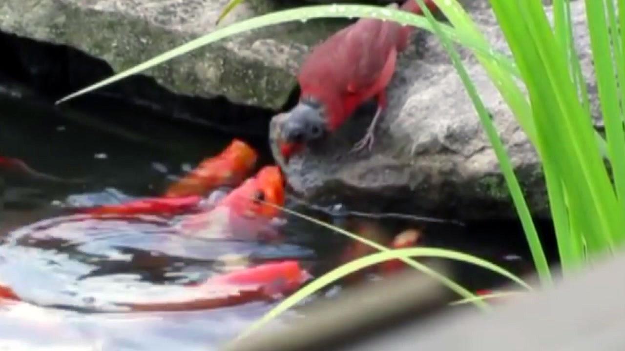 [지구촌생생영상] '배고팠지?' 금붕어에 먹이 주는 어미 새