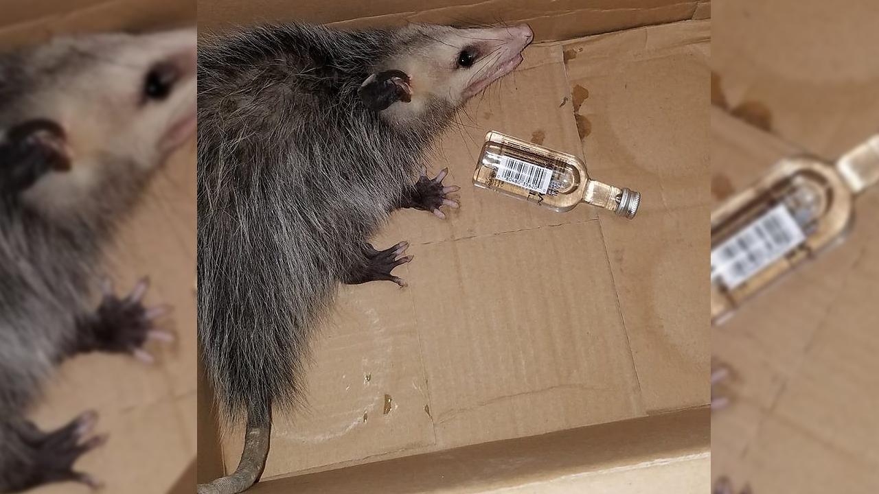 가게에서 술 훔쳐 마시고 만취한 상태로 발견된 '쥐'