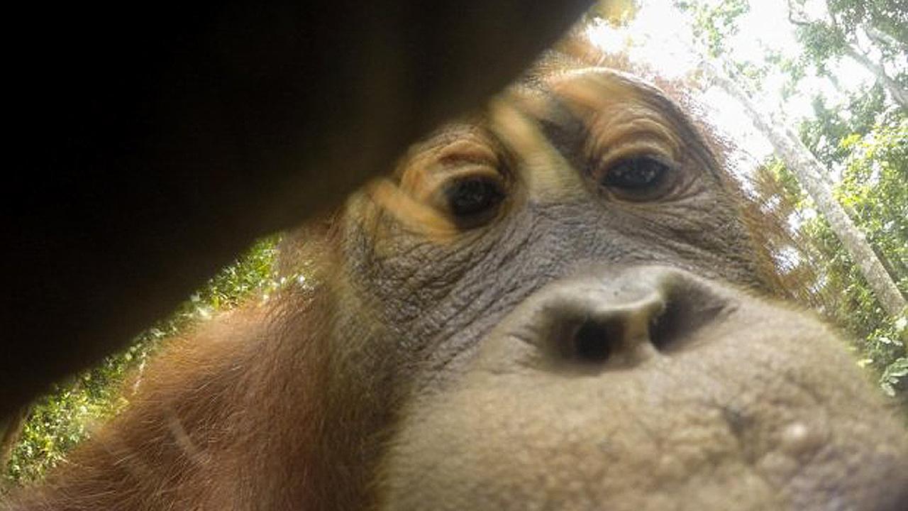 '이게 뭐야?' 카메라로 '셀카' 수백 장 찍은 오랑우탄