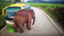 장난감 다루듯 버스를...야생 코끼리의 습격